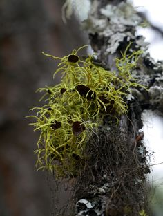 "northwestnaturalist: "" Letharia columbiana ""Brown-eyed Wolf Lichen"" Rattlesnake National Recreation Area, MT October 24, 2015 Robert Niese This species is closely related to the Wolf Lichen that..."