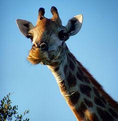 On the neck of a giraffe a flea begins to believe in immortality (Bill Vaughan) Fleas, South Africa, Giraffe, Believe, Anna, Animals, Instagram, Felt Giraffe, Animales