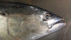 #Tuna #fishmarket #stroll #Portoercole #Argentario #Tuscany #Italy