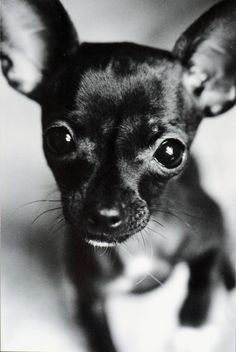 Chihuahua black and white signed original print by indiehomestead