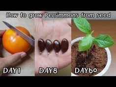 단감 사 먹고 공짜로 모종 얻는 방법!ㅣHow to grow Persimmons from seed - YouTube