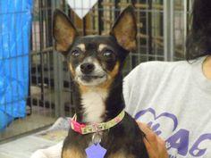 Tessa the Chihuahua (short coat) Animal Compassion Team of California