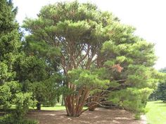 Discover 40 Types of Pine Trees from Around the World: Tanyosho Pine