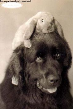 I think we might need to get my rabbit together with your newfies to recreate this picture. Rabbits make good hats