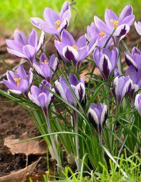 Sieberinsahrami Spring Beauty