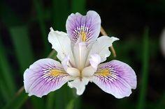 Iris Hd Widescreen 11