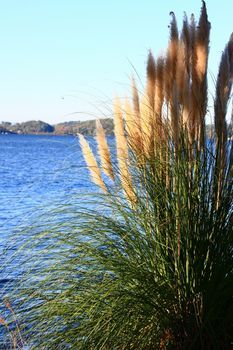 Pampas Grass Maintenance - good site - pink, rose, white, purple flowers also in dwarf variety - for pots??