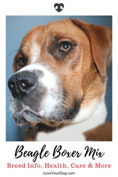 The lively and cheerful Beagle and the sweet and caring Boxer create the Bogle; a guard dog with a heart of gold. Boxer Beagle Mix, Girls Best Friend, Best Friends, Jacob Collins, Guard Dog, R Dogs, Small Breed, Dog Bed, Cool Toys