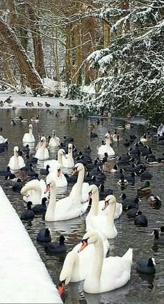 VERMONT - USA - St Albans Lake - swan and duck - beautiful nature shot by olivelinton Pretty Birds, Love Birds, Beautiful Birds, Animals Beautiful, Nature Animals, Animals And Pets, Cute Animals, Tier Fotos, All Gods Creatures