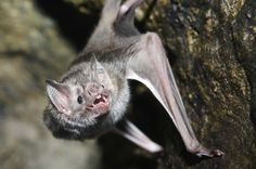 Featured Creature: Vampire Bat Did you know? Vampire bats sometimes attack people who are sleeping. The bite itself is harmless and soon heals, but vampire bats may carry rabies. Bat Species, Sleeping Animals, Vampire Bat, 12 Image, Creatures Of The Night, True Blood, Mammals, Amphibians, Reptiles