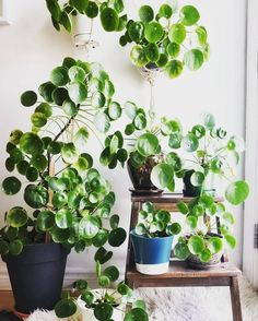What a family! #pilea