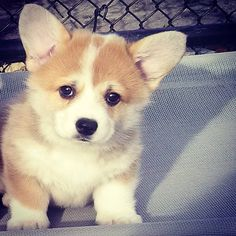Pembroke Welsh Corgi puppy!