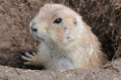 Prairie Dogs have a specific warning call for different predators...they even have a different call indicating different color, shape, and height of the predator!