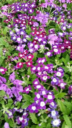 Verbena Obsession Berry Tart Mix Berry Tart, Verbena, Live Plants, Berries, Flowers, Bury, Royal Icing Flowers, Flower, Florals