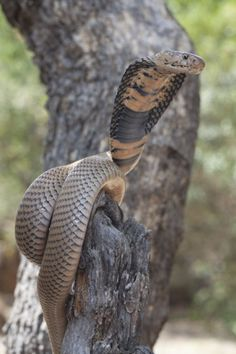 In Southern Africa, the Mozambique Spitting Cobra… Snake Images, Snake Photos, Cute Reptiles, Reptiles And Amphibians, King Cobra Snake, Cute Snake, Snake Venom, Snake Art, Beautiful Snakes