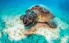 Download wallpapers turtle, underwater world, large coral reef, ocean, save turtles