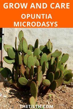 Opuntia Microdasys (Bunny ears cactus) Bunny Ear Cactus, Opuntia Microdasys, Types Of Succulents, Succulent Care, Cactus Plants, Ears, Cacti, Cactus, Ear