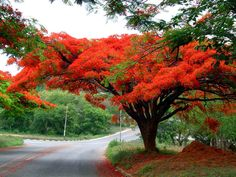 Bright Colored Flame Tree Delonix Regia Seeds Very Popular Royal Poinciana Tree Seeds, Widely Cultivated Flamboyant Seeds Delonix Regia, Tree With Red Flowers, Red Tree, Deciduous Trees, Flowering Trees, Blooming Trees, Flame Tree, Palmiers, Tree Seeds
