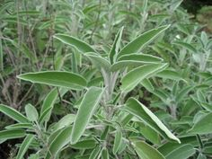 """Sage (Salvia officinalis) has been used medicinally since ancient times. The name 'sage' means """"safe"""" or """"cure"""" - referring to the plant's healing powers. All plants of the genus Salvia are part of the Mint family. Salvia Officinalis, Flu Remedies, Herbal Remedies, Natural Remedies, Sage Health Benefits, What Is Sage, What Is Oil Pulling, Sage Herb, Stipa"""