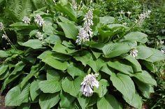 Hosta à feuilles grandes et vertes et à fleurs blanches
