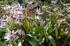 Erythronium hendersonii - commonly known as the Henderson's Fawn Lily.