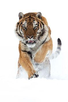 beautiful-wildlife: Siberian Tiger by mz_images - Um castelo em Portugal Nature Animals, Animals And Pets, Wild Animals, Prey Animals, Animals Planet, Exotic Animals, Beautiful Cats, Animals Beautiful, Panthera Tigris Altaica
