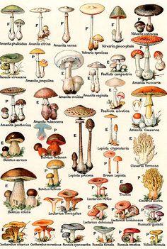 Vintage illustration of edible and poisonous mushrooms; lithograph, giftige Vintage illustration of edible and poisonous mushrooms; Poisonous Mushrooms, Wild Mushrooms, Stuffed Mushrooms, Growing Mushrooms, Mushroom Drawing, Mushroom Art, Botanical Drawings, Botanical Prints, Survival Skills