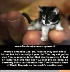 Tiny cat. This is what happens when the Internet, photo modification, and people manipulation collide. It's apparently not real.