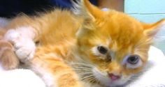 ADOPTED - Crusty - URGENT - Dekalb County Animal Shelter in Decatur, Georgia - ADOPT OR FOSTER - 2 MONTH OLD Female Domestic Medium Hair Mix