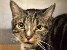 """TIGGER - A1031031 - MANHATTAN, NYTERRIFIC TIGGER NEEDS NEW FRIEND! A staff member writes. """"The Tigger they are the harder you'll fall…in love.  loveable boy. He enjoys being picked up and it shows. He will literally nest in your arms.  Tigger our boy is a hunky 16.7 lbs. his precious life is on the line. If you can open up your heart and home to this five year old fab fella, please reserve him online or contact a NH rescue who can deliver him directly to your doorstep."""