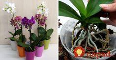 Skúsení pestovatelia radia: Urobte toto a vaša orchidea rozkvitne aj v januári Flowers Nature, Clematis, House Plants, Home And Garden, Diy, Gardening, Plants, Pictures, Flowers