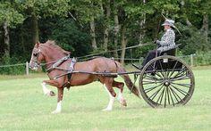 Photo Archive BDS Show Driving - Private - Sec D 2012 : Rainhill Welsh Cobs
