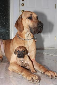 #Great #Dane with her #puppy... #dogs