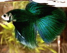 Green Betta Fish | green this is the third of the three iridescent colors green is near ...