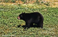 Black Bear by Tommy Anderson Oklahoma, Ohio, Custer State Park, Black Bear, South Dakota, Pennsylvania, Sd, State Parks, Oregon