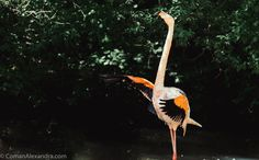 Flamingo - http://www.comanalexandra.com/new  Flamingo spreading its wings