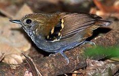 Flickr - Dario Sanches - CHOQUINHA-DE-GARGANTA-PINTADA (Myrmotherula gularis).jpg El hormiguerito gorgipinto5 (Rhopias gularis), también denominado hormiguerito de garganta estrellada,4 es una especie de ave paseriforme de la familia Thamnophilidae; anteriormente situada en el género Myrmotherula, ahora la única especie del género monotípico Rhopias. Es endémica del sureste y sur de Brasil