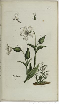 LYCHNIS - Lychnis dioica. Le lychnis des champs / Le lychnis sauvage / L'œil de…