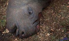 """ارتفاع سعر """"قرن"""" وحيد القرن ويقدّر بأكثر…: ارتفع سعر قرن حيوان وحيد القرن بشكل كبير، حيث يعتقد حاليًا بأن قيمته أكثر من وزنه ذهبًا، ما أدى…"""