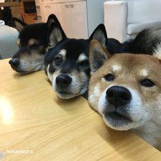 あご乗せの全体像~柴犬ひなあおそら | 柴犬3兄弟ひなあおそらブログ
