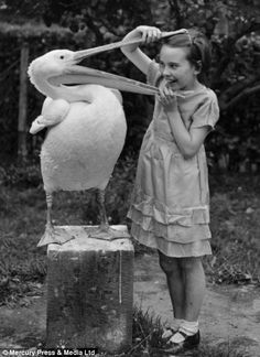 June Mottershead with her head in Pelly the Pelican's beak, Chester Zoo, 1935