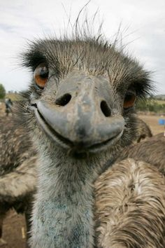 An emu gets a bit friendly with the camera