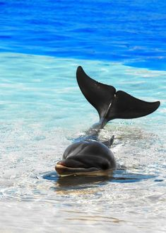 Dolphins are intelligent - can communicate to one another to coordinate behavior, studies have shown they can plan ahead and problem solve. Water Animals, Animals And Pets, Baby Animals, Whales, Earth Song, Orcas, Eckhart Tolle, Vie Marine, Marine Life