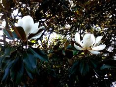 Our Little Gem magnolia tree replaced another tree knocked down by a storm in our front yard last year. Now she's finally blooming, ...