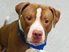 SAFE !   MON 2-10-14 Manhattan Ctr  BROWNIE A0990883  Unaltered male brwn/wht  Pit Ter mix 2 yrs old  76lbs  2/2/14 Nice is friendly &  LOVES other dogs, greeting them calmly, whining & play bowing. Walks well in a harness leash & likely house trained. Nice sits nicely.  He's lost all that's familiar to him overnight. Stressed out right now. Nice would love to find an active home where he can spend lots of quality time exercising & snuggling w/ his new forever family.