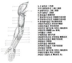 팔 근육 앞면