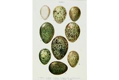 British Eggs Plate V, C. 1900 on OneKingsLane.com Found on ebay...Barbara