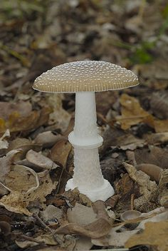 Amanita pantherina by Leif Goodwin Slime Mould, Plant Fungus, Mushroom Fungi, Walk In The Woods, Stuffed Mushrooms, Wild Things, Plants, Wildlife, Science