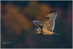 Short Eared Owl by Pius_Sullivan Short Eared Owl, Owl Pet, Pets, Animals, Colors, Fall, Amazing, Places, Animals And Pets