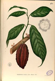 add cacao nibs to smoothies. boost nutritian. cacao pod - natural history illustration.